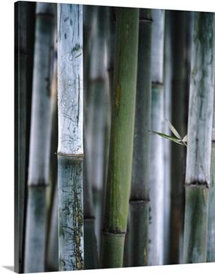 Detail Of Green Bamboo In Bamboo Park, Chengdu, Sichuan