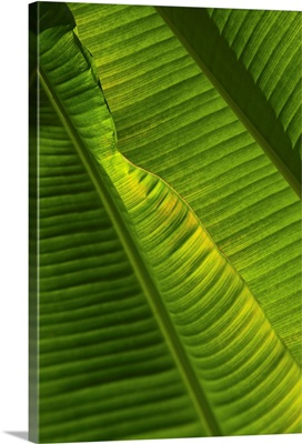 Detail Of Palm Tree; Barbados
