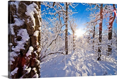 Detail of snow covered cotttonwoods during winter in Arctic Valley, Alaska