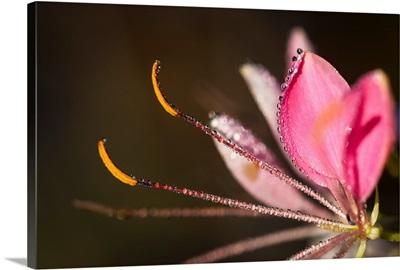 Dew adorns a bee plant, Astoria, Oregon