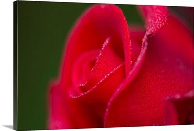 Dew covers a rose blossom, Astoria, Oregon