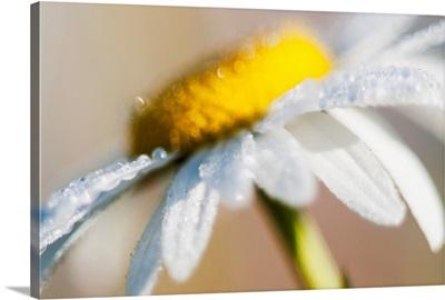 Dew on a daisy sparkles in the sunlight, Astoria, Oregon