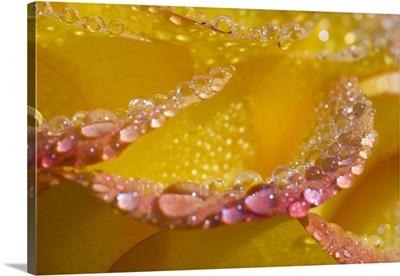 Dew On Flower Petals