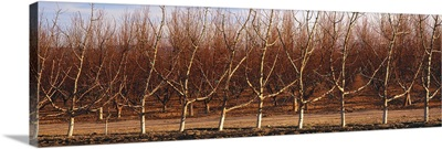 Dormant high density apple orchard in late afternoon winter sunlight