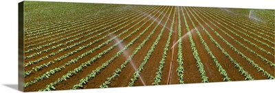 Early growth broccoli field being sprinkler irrigated