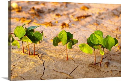 Early growth cotton plants at the two-leaf stage, emerging in conventional tillage soil