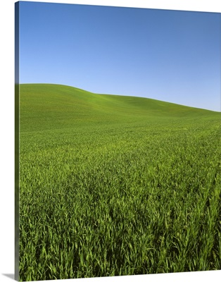 Early growth green winter wheat field in the rolling hills