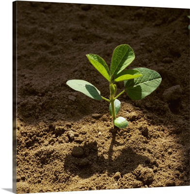 Early growth soybean plant growing in soft, sandy soil
