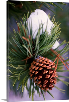 Early Snow On Pine Tree Branch With Pinecone