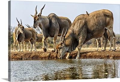 Eland Drinking Water, Mashatu, Botswana