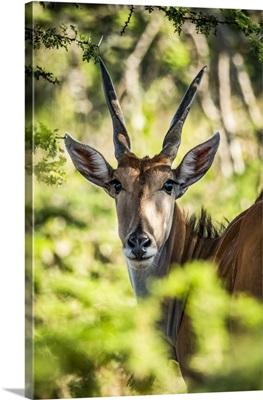 Eland Eyeing Camera Through Foliage, Serengeti, Tanzania