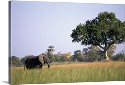 Elephant Grazing In Water Meadows, Botswana