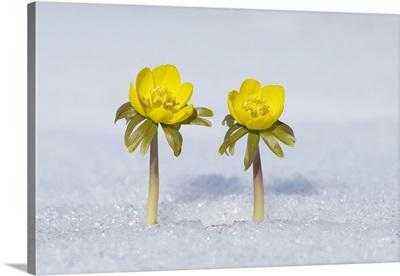 Eranthis Hyemalis In Snow, Franconia, Bavaria, Germany