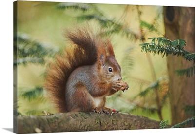 Eurasian Red Squirrel (Sciurus Vulgaris), Bavaria, Germany