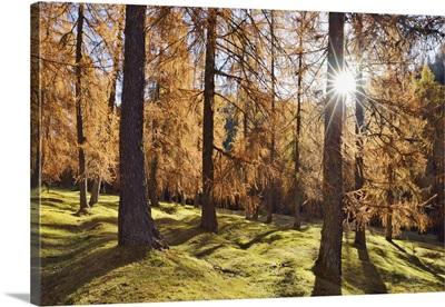 European Larch Forest, Dolomites, European Alps, Italy