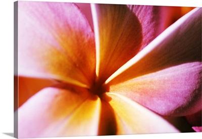 Extreme Close-Up Of A Plumeria Blossom, Pink And Yellow
