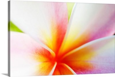 Extreme Close-Up Of A Plumeria Blossom, Pink, White And Yellow
