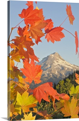 Fall Colors From Bonney Butte, Mt Hood National Forest, Oregon