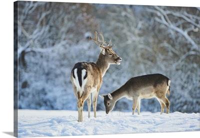 Fallow Deer (Dama Dama) On A Snowy Meadow, Bavaria, Germany
