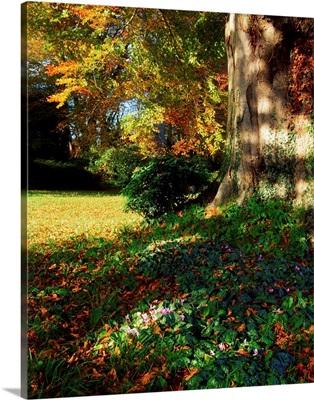 Fernhill Gardens, Co Dublin, Ireland, Cyclamen Under A Beech Tree