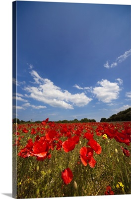 Field Full Of Red Flowers; Northumberland, England