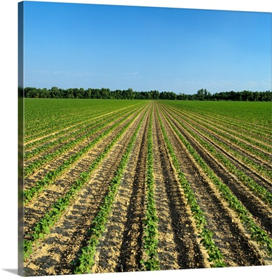 Field of early growth cotton plants, planted with conventional tillage methods