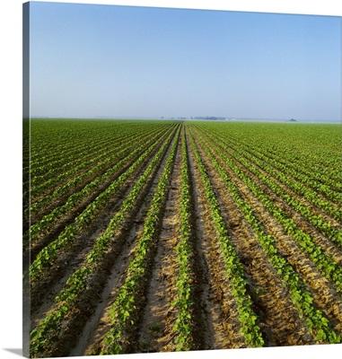 Field of early growth minimum tillage cotton, Arkansas