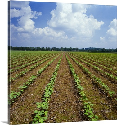 Field of early growth no-till cotton, Tennessee