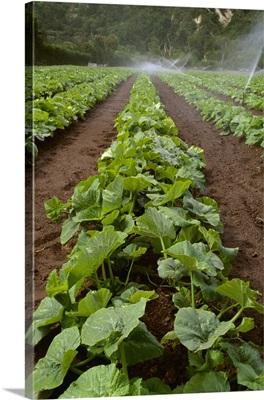 Field of early growth organic pumpkin plants being sprinkler irrigated