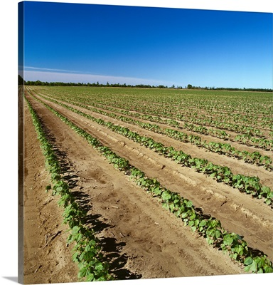 Field of early growth reduced tillage cotton, Mississippi