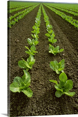 Field of early growth Romaine lettuce plants, Salinas Valley, California