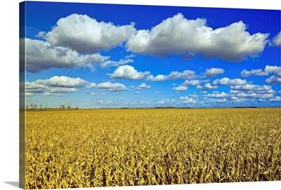Field Of Feed/Grain Corn Stretches To The Horizon, Manitoba, Canada