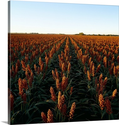 Field of healthy mature grain sorghum, ready for harvest, in late afternoon light
