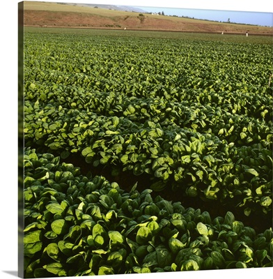 Field of healthy mature spinach in early morning light