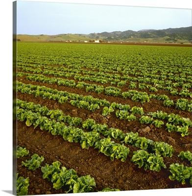 Field of healthy mid growth green leaf lettuce