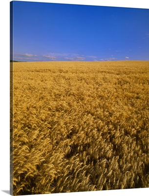 Field of mature, harvest ready winter wheat in late afternoon light