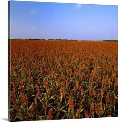 Field of mature Red Grain sorghum prior to harvest in late afternoon light, Midwest USA