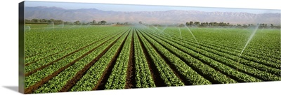 Field of mature spinach nearly ready for harvest
