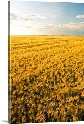Field Of Maturing Barley Stretches To The Horizon, Manitoba, Canada