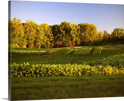 Field of maturing Flue cured, or Bright tobacco in late afternoon light