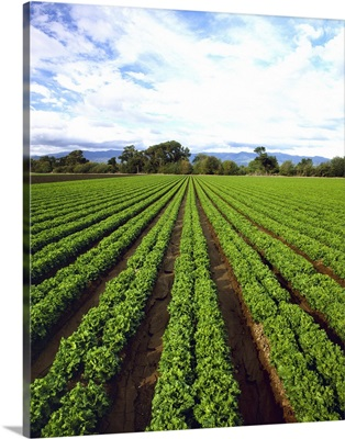 Field of maturing green leaf lettuce nearly ready for harvest