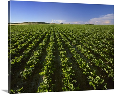 Field of maturing sugar beet plants in the morning light of the Yellowstone River Valley