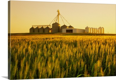 Field of maturing winter wheat in early morning light with grain bins in the background