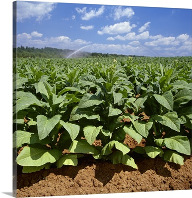 Field of mid growth Flue Cured tobacco plants, with sprinkler irrigation