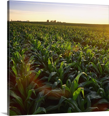 Field of mid growth pre-tassel stage grain corn at sunset with a farmstead