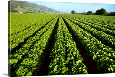 Field of mid growth Romaine lettuce in Spring