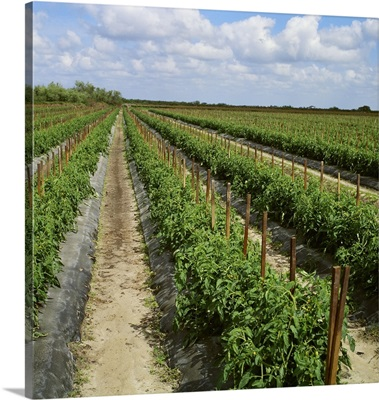 Field of mid growth staked fresh market tomato plants, Florida