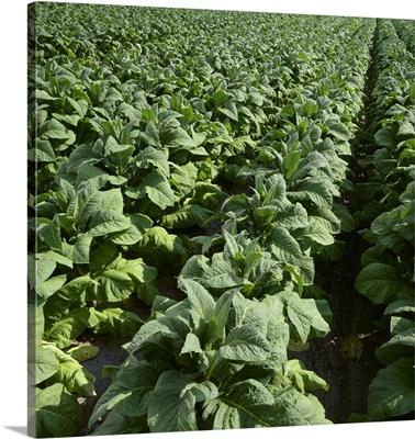 Field of nearly mature Flue Cured tobacco plants, North Carolina
