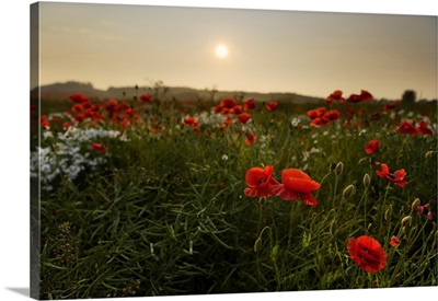 Field Of Poppies, Midlothian, Scotland, United Kingdom