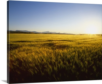 Field of ripening barley in sunset light with the Rocky Mountains in the distance